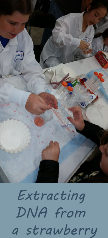 Extracting DNA out of a strawberry | homeschool science experiment